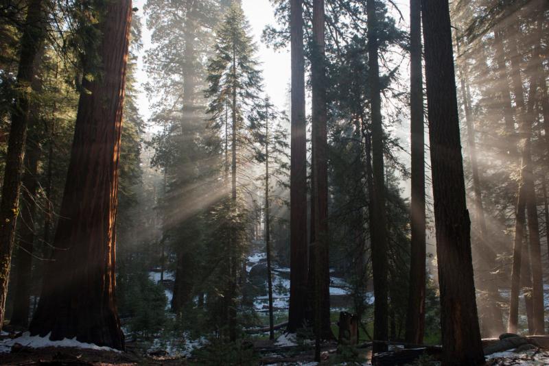 Giant_sequoia